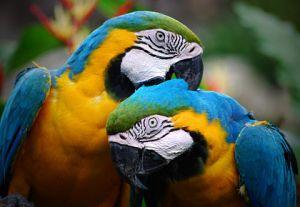 http://en.wikipedia.org/wiki/Parrot
