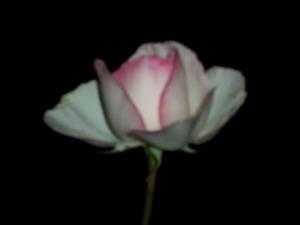 rose at Notre Dame
